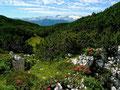 Kleine Dolinen und Alpenrosen auf der Hochfläche des Trisselbergs. Der Dachstein im Hintergrund.