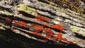 Auffallend gefärbte Flechten auf Urgestein am Pfitscher Joch
