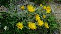 Zottiges Habichtskraut mit stark behaarten Pflanzenstengeln und Blättern - ein Schutz vor dem Austrockenen auf sonnigen Böden