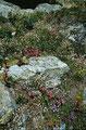 Blumenpolster am Wegrand. Die Hauswurz ist stark vertreten.