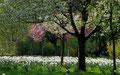 Wiese mit weißen Narzissen und bluehende Bäume im Fuerther Stadtpark
