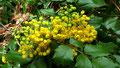 """Gelb bluehende Stechplame (Ilex) im Steilhang unter dem Rastplatz """"Cadolzuburg-Blick"""""""