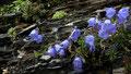 Polsterglockenblume und Blattrosetten der Hauswurz