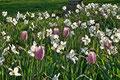 weiße Narzissen und zartrosa Tulpenj im Fürther Stadtpark