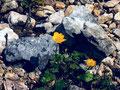 Gelber Berghahnenfuß mit fleischigeren Blättern