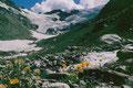 Gamswurz an einem Seitenbach im Talschluss gegen Fexgletscher