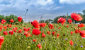 Mohnblumen - Mohnblumenfeld - Usedom - Dedic Fotografie