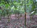 Blick in eine kleine Kakao-Plantage (Togo, 2013)