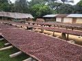 Hier werden die Kakao-Bohnen getrocknet (Togo, 2013)