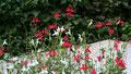 """Salvia microphylla """"hot lips"""" (lèvres de feu !)"""