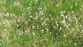 La linaigrette, fleur typique des tourbières