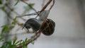 Escargot équilibriste sur sauge