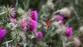 Moro sphinx ou Shinx colibiri ou Shinx du caille-lait, Macroglossum stellatarum