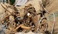 Sacs de racines de gentiane à la Godivelle (15)