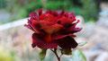 "La rose ""Eddy Mitchell"""