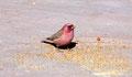 C'est le Roselin du Sinaï (Carpodacus synoicus) oiseau national de Jordanie
