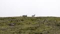 Quelques rennes