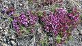 L'Épilobe à feuilles larges (Chamerion latifolium)