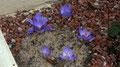 crocus speciosus aitchinsonii