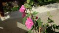 Variété de Malva sur la terrasse de devant