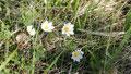 Dryas octopetala (Holtasóley en islandais) fleur nationale