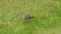 Un courli nous attire loin de son nid