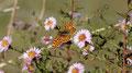 Brenthis daphne (Le Nacré de la ronce)