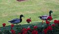 Les canards de Schoenbrunn