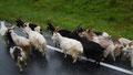 Chèvres en Norvège