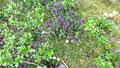Les landes rases riches en éricacées (camarine, callune, myrtille,...)