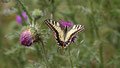 Machaon ou Grand porte-queue, Papilio machaon,