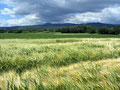Les blés verts