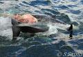 若いツチクジラが餌食に・・・