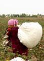 Baumwollernte in Usbekistan
