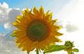 Sonne und Sonnenblumen gibt es hier reichlich !