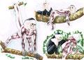 Planche anatomique d'un singe Capucin