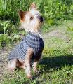 Yorkshire Terrier Apollo