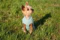 """""""Nacktfrosch"""" Apollo - Yorkshire Terrier"""