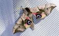 Das Abendpfauenauge (Smerinthus ocellata) im Bann des Lichts