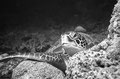 ruhende Meeresschildkröte, Indischer Ozean - Malediven