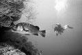 Süßlippe mit Taucher, Indischer Ozean - Malediven