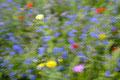 Blumenwiese im Wind