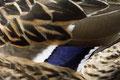 Stockente (Anas platyrhynchos)