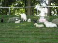 Home&Garden2009, Ausstellung einiger Betonfiguren Schafe und Hühner