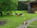 Beagle unter sich