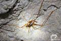 Corfu cave cricket (Dolichopoda steriotisi).