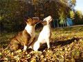 миниатюрный, карликовый, бультерьер, Miniature, Bull, Terrier, минибулик, минибуль