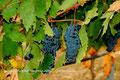 Reguengos de Monsaraz - A Uva de vinho