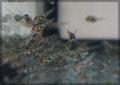 Thorichthys aureus Jungtier 1 Woche alt