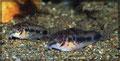 Corydoras habrosus Paar